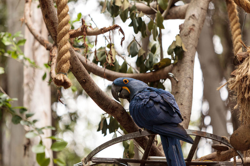 Bright blue and yellow Hyacinth Macaw parrot Anodorhynchus hyacinthinus Animal Themes Animal Wildlife Animals In The Wild Anodorhynchus Hyacinthinus Bird Blue Bird Blue Parrot Branch Day Hyacinth Macaw Macaw Nature No People Outdoors Parrot Perching Tree