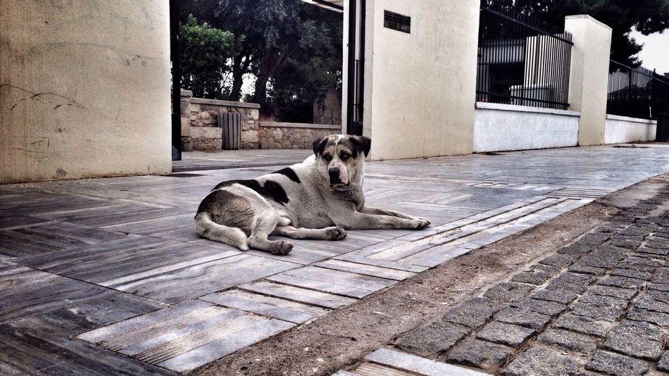 EEA3 - Athens Dog Stray