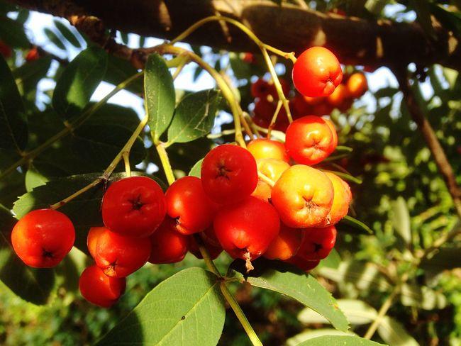 Berries IPhoneography