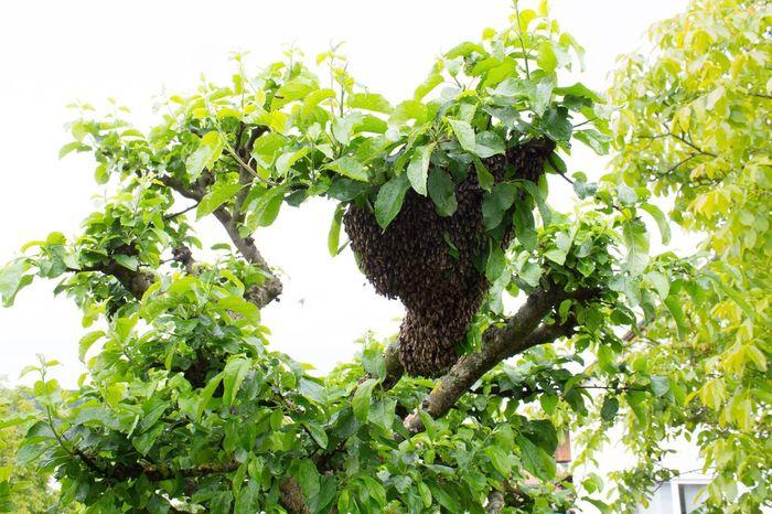 Biene Honigbiene Bienenschwarm Bee Swarm Abeja Cardumen Animales Animals Tiere