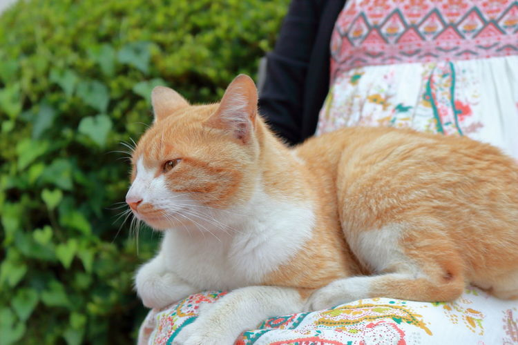 Close-up of ginger cat sitting on woman lap