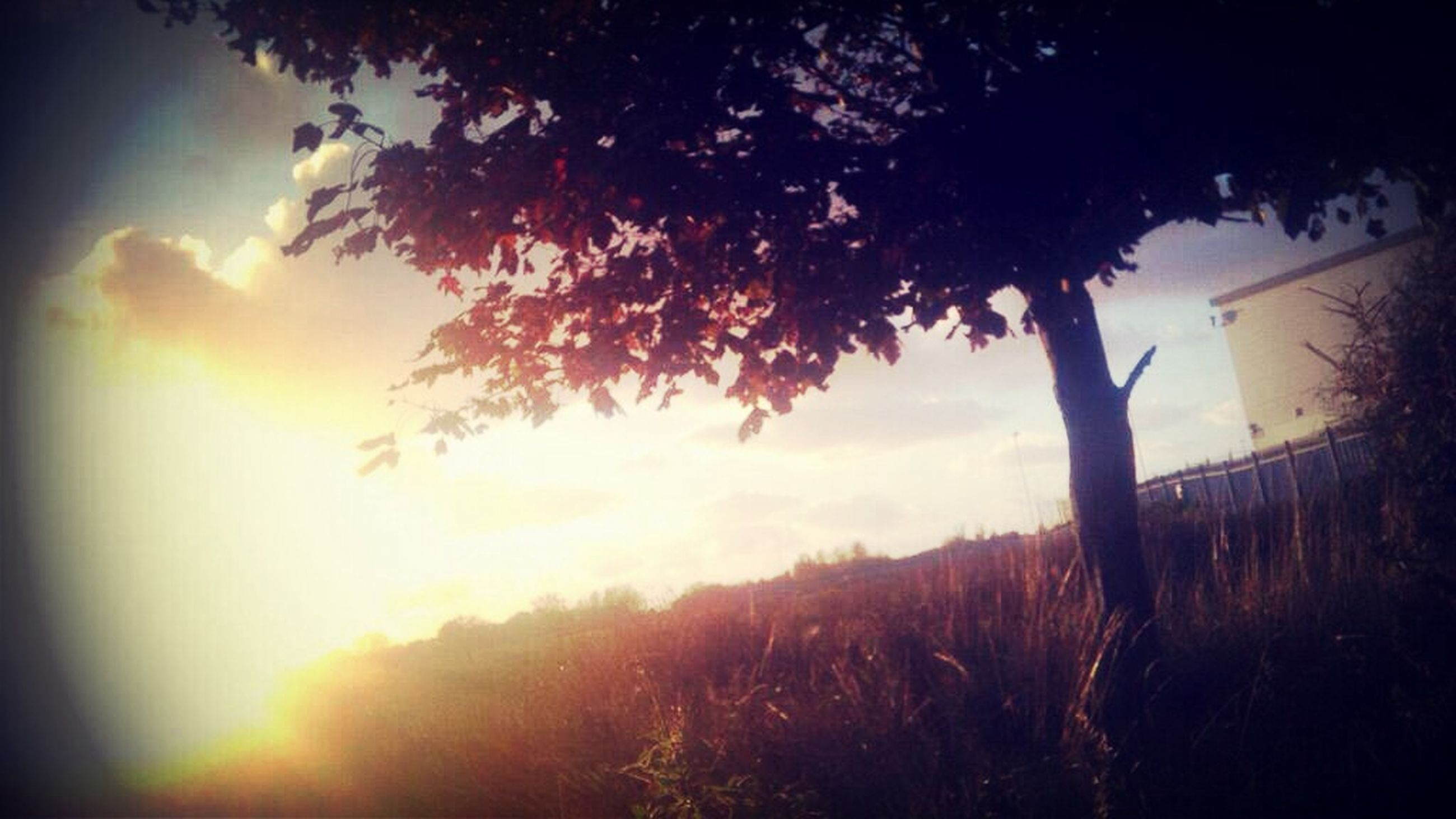 sun, sunset, tree, silhouette, growth, tranquility, sunlight, beauty in nature, sunbeam, sky, nature, tranquil scene, lens flare, scenics, field, branch, back lit, plant, low angle view, landscape
