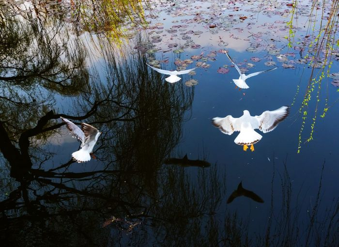 seagull flying over lake Reflection Tree Animal Animal Themes Animal Wildlife Animals In The Wild Bird Day Floating Floating On Water Flying Group Of Animals High Angle View Lake Nature No People Outdoors Park Reflection Seagull Swimming Vertebrate Water Waterfront White Color