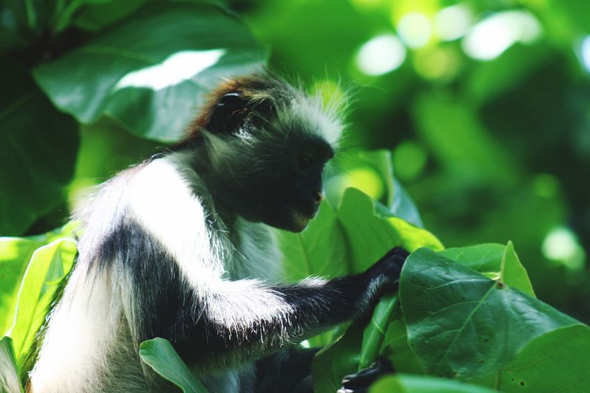 Monkey Zanzibar Food Eating Tanzania Colobus Zanzibar Monkey Animal Themes One Animal Animal Mammal Plant Part Vertebrate Leaf Close-up Green Color Plant Animal Wildlife Focus On Foreground No People Animals In The Wild Domestic Animals Nature