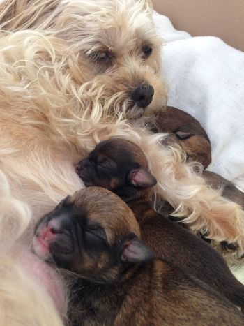 True love Whelping Labour Day New Mum Lhasa Apso Motherslove Puppies Newborn