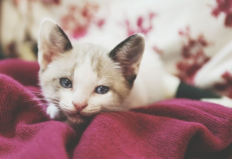 Pets Domestic Cat Domestic Animals Portrait Feline Mammal Animal Themes Looking At Camera Cute Whisker Kitten Close-up Indoors  EyeEmNewHere The Week On EyeEm Pet Portraits Catoftheday Cats Of EyeEm Cat Lovers Cat Love Young Animal Indoors