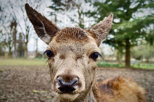 Deer Reh Animal Wild Dammwild Tier