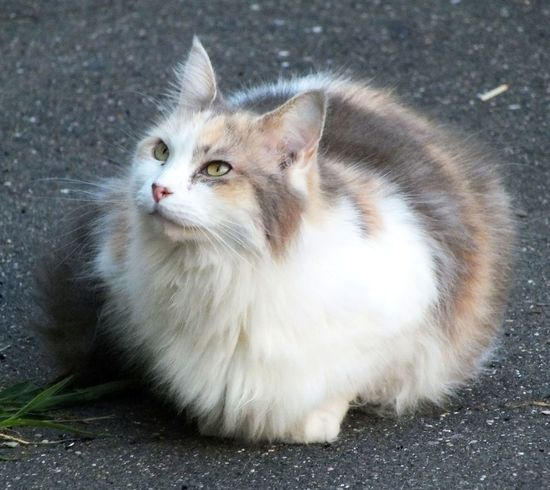 Alertness Animal Eye Beautiful Cat Calico Calico Cat Cat Cat Lovers Cat Photography Cats Of EyeEm Dilute Calico Cat Domestic Animals Domestic Cat Feline Kitty Long Hair Cat Maine Coon Maine Coon Cat Nature No People Outdoors Pet Pet Photography  Pets Pets Corner Portrait
