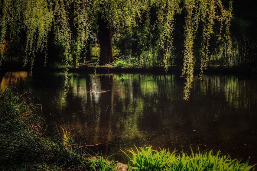 *Der Weiher* Er liegt so still im Morgenlicht, so friedlich wie ein fromm Gewissen; wenn Weste seinen Spiegel küssen, des Ufers Blume fühlt es nicht; Libellen zittern über ihn, blaugoldne Stäbchen und Karmin, und auf des Sonnenbildes Glanz die Wasserspinne führt den Tanz; Schwertlilienkranz am Ufer steht und horcht des Schilfes Schlummerliede; ein lindes Säuseln kommt und geht, als flüstr' es: Friede! Friede! Friede! (Annette von Droste-Hülshoff 1797-1848) Liebe Freunde, ich weiß nicht, ob nur ich so fühle oder ihr vielleicht das Gleiche empfindet. Die alten Dichter und ihre Verse haben etwas unglaubliches Berührendes. Bin über dieses Gedicht gestolpert und es hat mich sofort in seinen Bann gezogen... A Walk In The Park Beauty In Nature Eye4nature Eye4photography  EyeEm Best Shots - Nature EyeEm Nature Lover EyeEmBestPics EyeEmNewHere Go For Green 💚In The Park Life's Simple Pleasures... Mittagspausenglück Mood Captures Peace And Quiet Peaceful Place Place Of Heart Poetry Reflection Reflection Lake Reflections And Shadows Reflections In The Water Tranquil Scene Tranquility Untamed Heart Walking Around