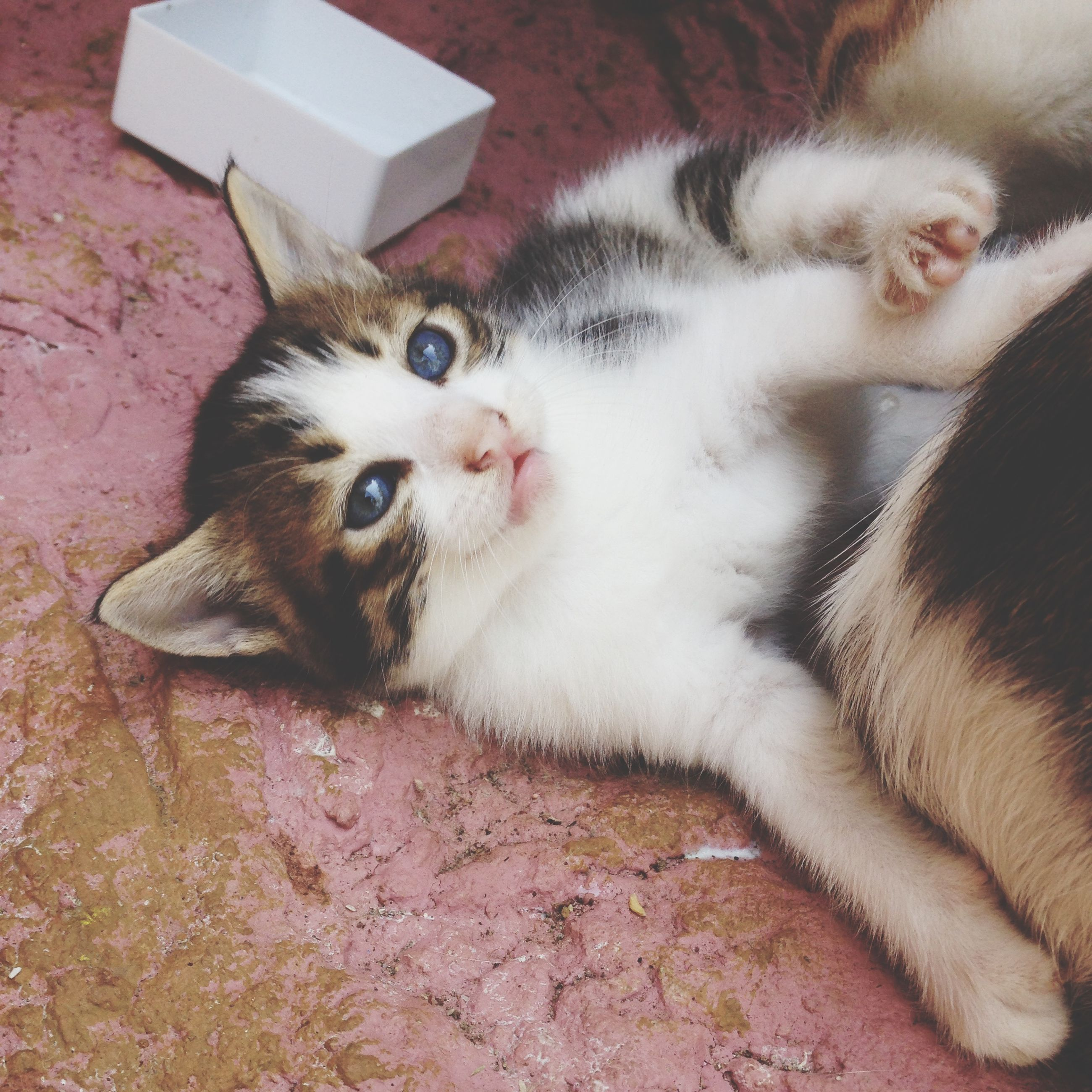 domestic animals, pets, animal themes, mammal, one animal, domestic cat, cat, feline, looking at camera, indoors, portrait, whisker, relaxation, lying down, high angle view, close-up, resting, young animal, kitten, home interior