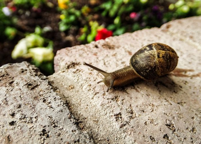 """🎶Snailing my downtown~🎵As a snail my life has been going by really slow and I have come to think that """"life is not short, it's long!"""" Snail Close-up Getting Inspired Getting Creative Showcase: June 2016 Feel The Journey Slow Life Macro Light And Shadow From My Point Of View Making My Way Downtown Nature Life Moving Life Is Long"""