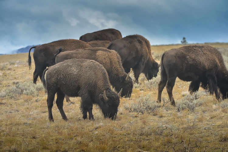 Bison grazing on field against sky