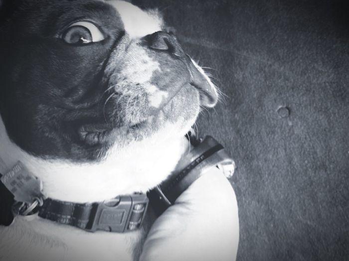 Boston Terrier I Love My Dog❤ Mojo!❤️ Black & White Crazy Face Crazy Eye Silly Face