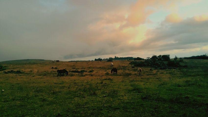Wild horses in Fulan Fehan hills, Atambua,Timor island, Indonesia Wildhorses Atambua Fulanfehan Timor Island INDONESIA
