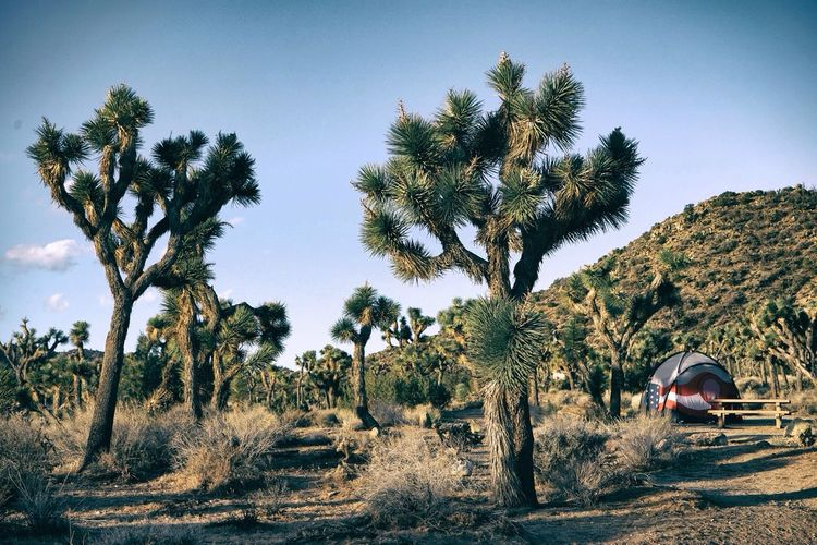 Joshua Tree Campground California Nature Tree The Adventure Handbook Even more Joshuas- I love them ☺️ Outdoors Camping Tent Deserts Around The World Landscapes With WhiteWall The KIOMI Collection The Great Outdoors - 2016 EyeEm Awards The Great Outdoors With Adobe The Secret Spaces TCPM Lost In The Landscape An Eye For Travel California Dreamin