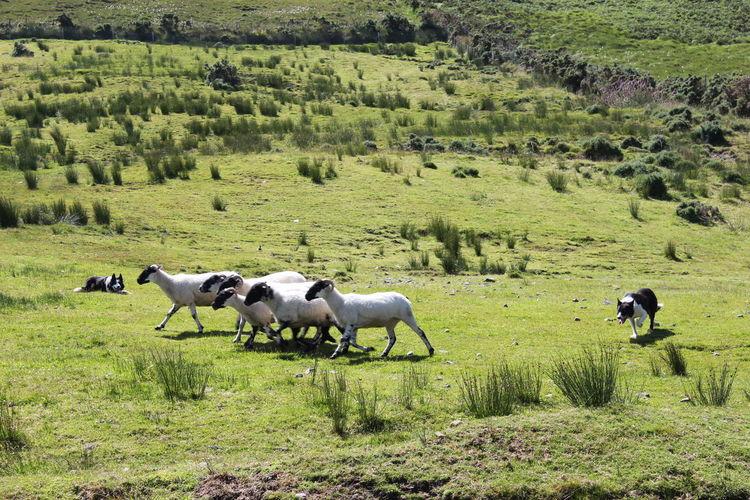 Dogs herding sheep on grassy field