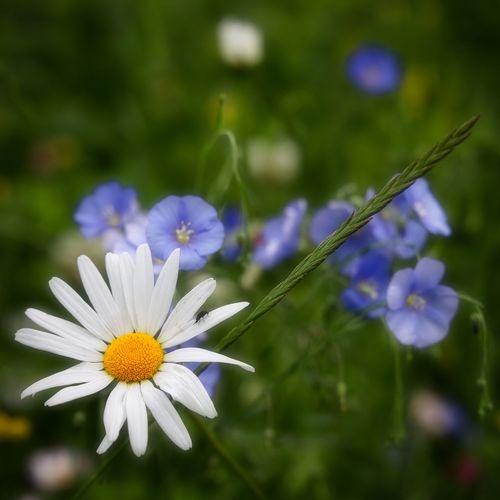 Close-up of purple daisy flowers on field