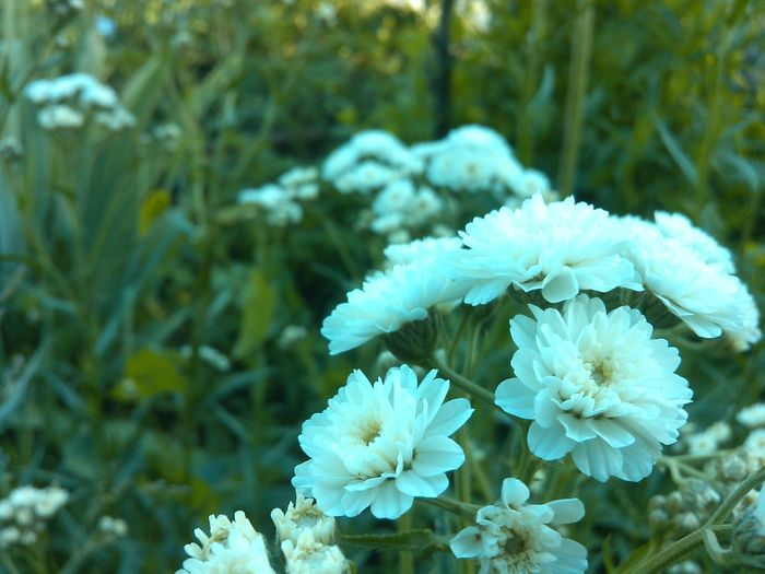 gypsophila paniculata Flower Nature Fragility Plant Beauty In Nature Focus On Foreground Freshness Growth Outdoors Gipsophila