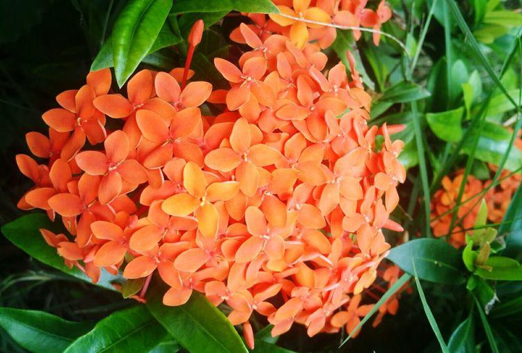 ดอกเข้ม Growth Nature Freshness Flower Beauty In Nature Orange Color Leaf Ixora Plant Blooming Fragility Petal No People Flower Head Close-up Outdoors Day