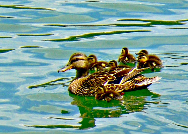 Animal Family Animals In The Wild Balance Beak Bird Bird Photography Duck Mallard Duck Mallard Ducks Omaha Nebraska Omaha, Nebraska Heartland Of America Park At Heartland Of America Park