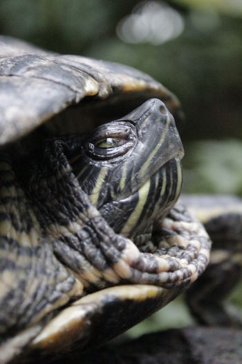 Animal Themes Animal Wildlife Animals In The Wild Close-up Day Nature Nature No People One Animal Outdoors Reptile Sea Turtle Tortoise Tortoise Shell Tortoiseshell Water