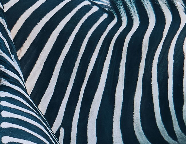 Zebra Minimalism Minimal Striped Zebra Pattern Abstract Backgrounds Black Color Textured  Animal Markings Outdoors Close-up Day Mammal No People