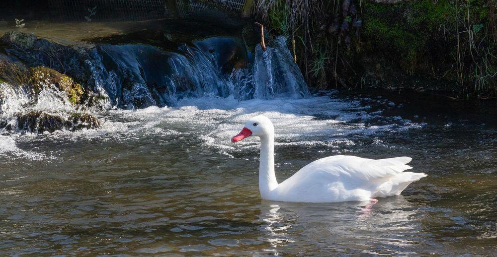 Bird Birdland Water Animals In The Wild Animal Flowing Water Animal Neck No People White Color Water Bird Day Swimming