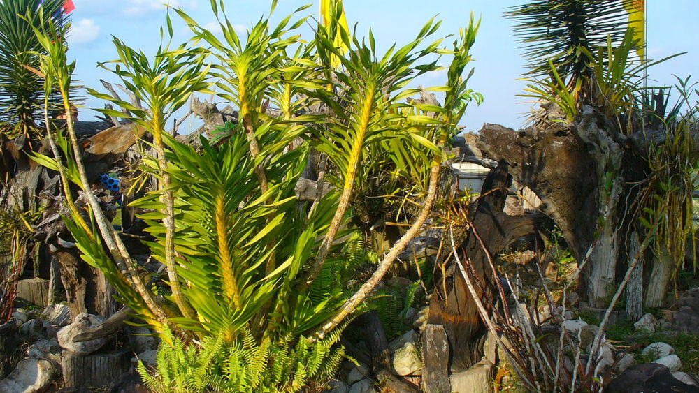 Beauty In Nature Botany Cactus Coconut Palm Tree Day Formal Garden Freshness Garden Green Green Color Growing Growth Leaf Nature Non-urban Scene Outdoors Plant Plant Life Remote Scenics Sky Solitude Thorn Tranquil Scene Tranquility