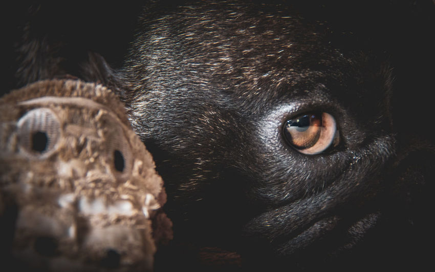 Pascal the famous French Bulldog and his favourite bestest friend.. Monkey Bulldog Animal Animal Body Part Animal Eye Animal Head  Animal Nose Animal Themes Canine Close-up Dog Domestic Domestic Animals Eye French Bulldog Indoors  Looking At Camera Mammal No People One Animal Pets Portrait Selective Focus Snout Vertebrate Whisker