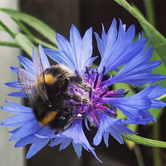 Bumble Bee Cornflower Bumble Bee Collecting Pollen Bumblebee On Flower Flower Flowering Plant Beauty In Nature Fragility Plant Vulnerability  Petal Flower Head Insect Animal Wildlife