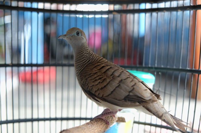 Geopelia striata Bird Animals In Captivity Animal Themes One Animal Cage Close-up Geopelia Striata Pet Animals In The Wild Animal Wildlife Eyeemphotography EyeEm Best Shots