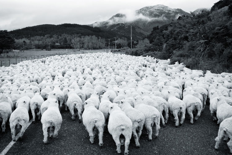 In A Row Mountain Range New Zealand New Zealand Scenery Non-urban Scene Rural Scene Sheep Sheeps White White Color
