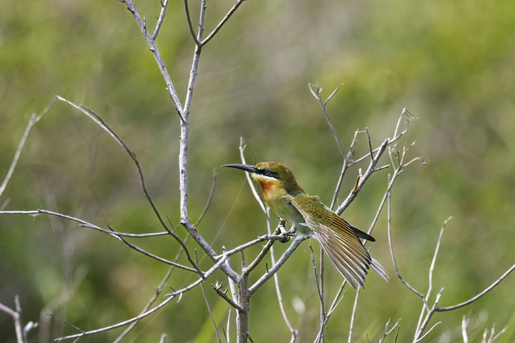 Blue Tailed Bee-eater Animal Wildlife Animals In The Wild Animal Themes Bird Animal One Animal Perching Nature Beauty In Nature Blue Tailed Bee Eater
