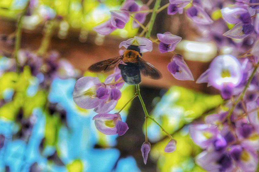 甘い香りに誘われて…。 長寿藤 藤 藤棚 蜂 ハチ Flower Purple Nature 千葉県