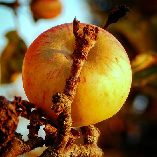 Close-up Fruit Food And Drink Healthy Eating Agriculture Nature Food No People Apple Tree Apple Freshness Autumn Newtalent IamJustIam MyWorldInPictures Worldthroughmyeyes