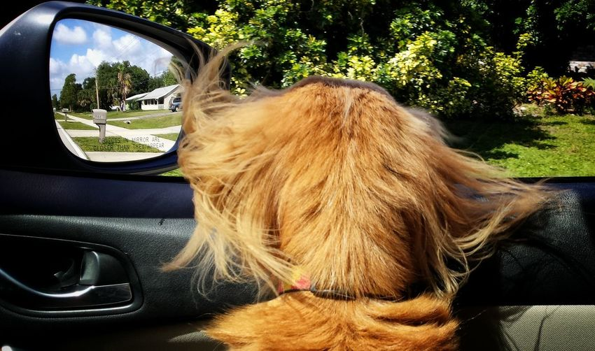 Close-Up Of Brown Dog In Car