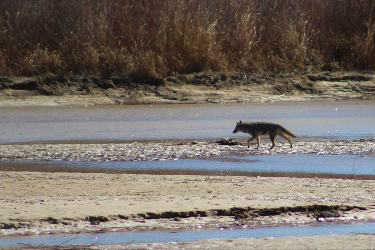 Coyote on the Rio Grande. Bosque Canis Latrans Coyote Hunting Midday Nature New Mexico One Animal Outdoors Predator Rio Grande Valley State Park River Riverbank Río Grande Shallow Water Showcase: February Stream Stream Bank Southwest  Wildlife