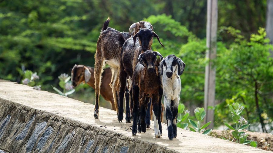 and they posed for the cam... Lamb Goat Candid EyeEm Best Shots EyeEmNewHere EyeEm EyeEm Nature Lover Landscape Scenery Beauty In Nature Low Angle View Green Color Photography Perspective Frame Wildlife Nature Beautiful Blue Hanging Out Adventure Travel Destinations Tranquility Travel Selective Focus Tree Full Length Animal Themes Infant Calf The Street Photographer - 2018 EyeEm Awards The Traveler - 2018 EyeEm Awards