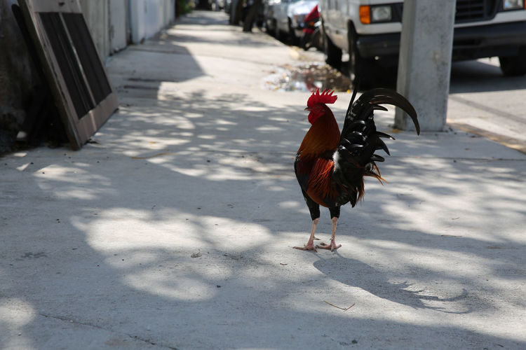Rooster On City Footpath