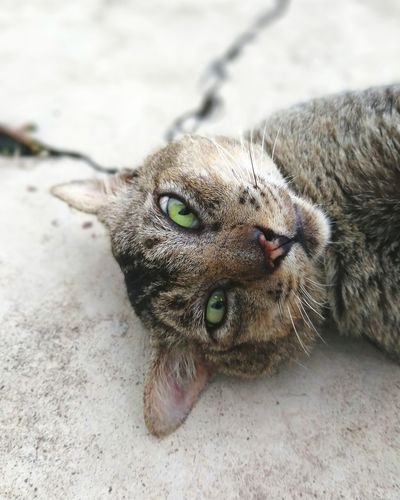 Looking Cat Thai Cat Thai Thai Animal Tabby Lying Down Lying Watching Brown Cat  Watch Look Looking EyeEm Selects Portrait Looking At Camera Pets High Angle View Close-up Cat Kitten Animal Eye Yellow Eyes Tabby Cat Feline Domestic Cat Stray Animal