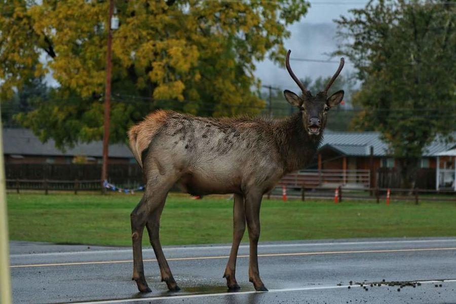 Just watching Elk Nature_collection RainnyDays Beautiful Animal