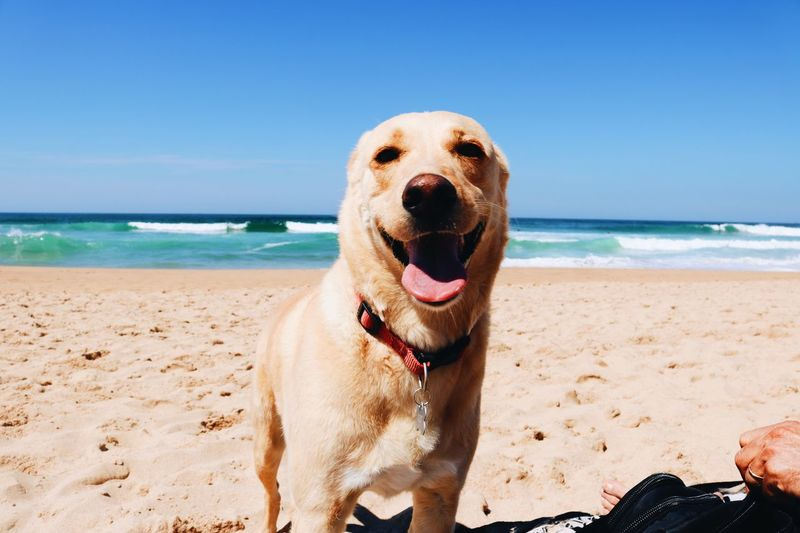 Pet Portraits Sea Dog Horizon Over Water Pets Water Beach Domestic Animals One Animal Sand Sky Nature Mammal Clear Sky Animal Themes Outdoors Scenics Day Beauty In Nature Sitting One Person Pet Portraits