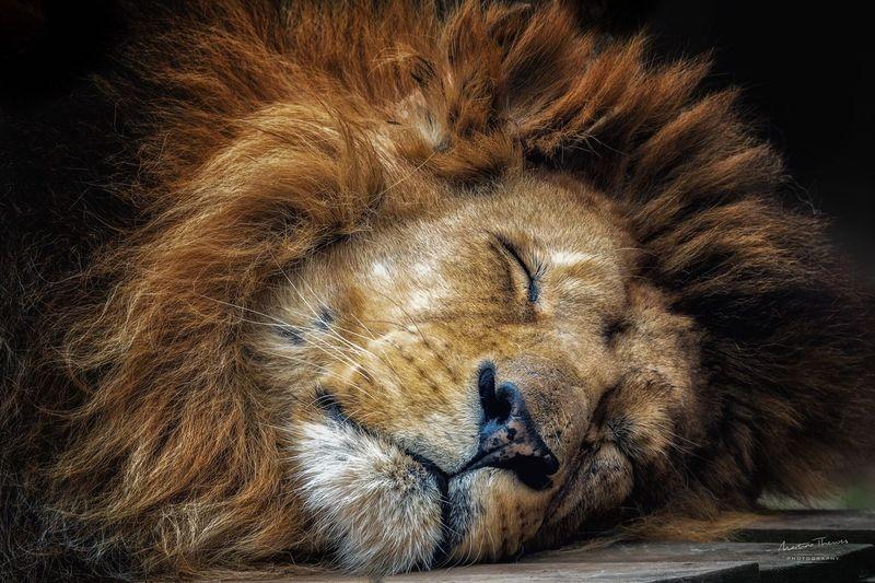 Animal Themes Lion One Animal Animal Photography No People Animalportrait Sleeping Zoo Animals  Zoophotography