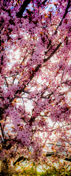 Abstract Abstract In Nature Backgrounds Beauty In Nature Blossom Branch Cherry Tree Ciruelo Close-up Colours Of Nature Coloursplash Day Flower Fragility Freshness EyeEm Gallery Low Angle View Nature No People Outdoors Pink Color Plum Blossom Check This Out Tree Unfocused Millennial Pink