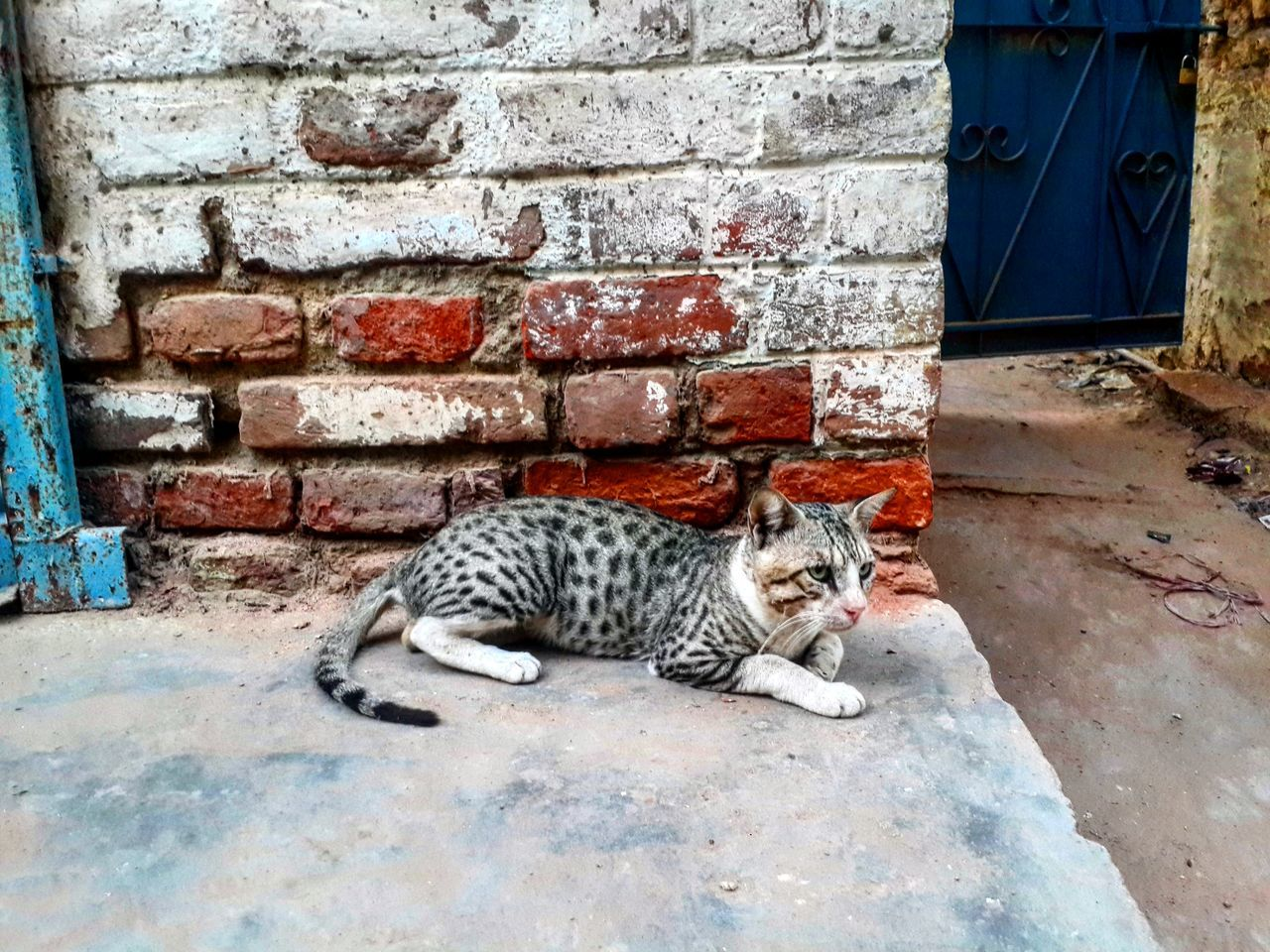 domestic cat, feline, animal themes, one animal, cat, mammal, day, lying down, domestic animals, pets, outdoors, no people, portrait