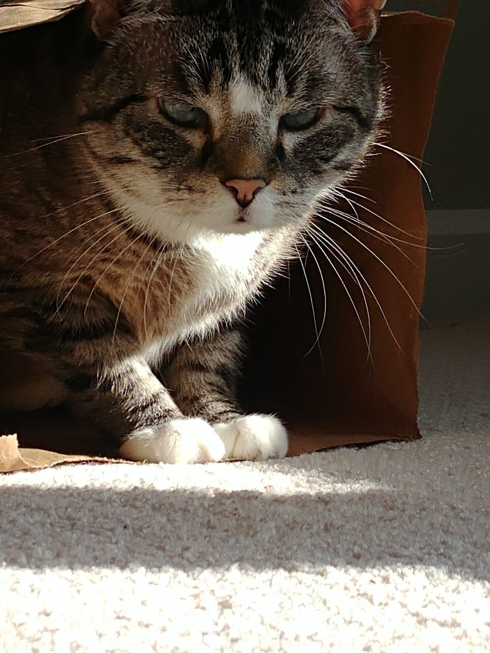 cat, domestic cat, feline, domestic, pets, domestic animals, mammal, vertebrate, one animal, whisker, sunlight, no people, close-up, relaxation, sitting, indoors, day