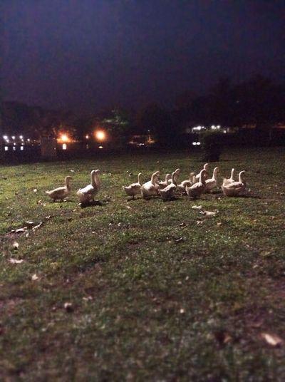 Goose in UTM