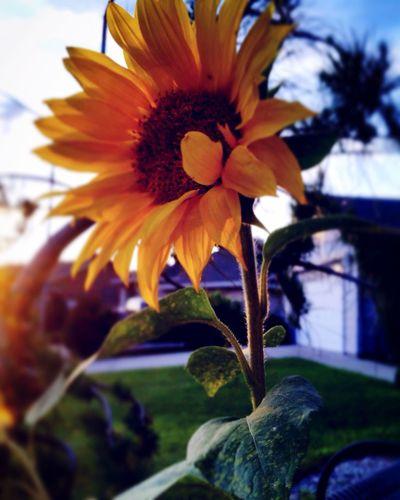 Green thumb? Sunflower Garden Photography Flowers Suburban Gardening