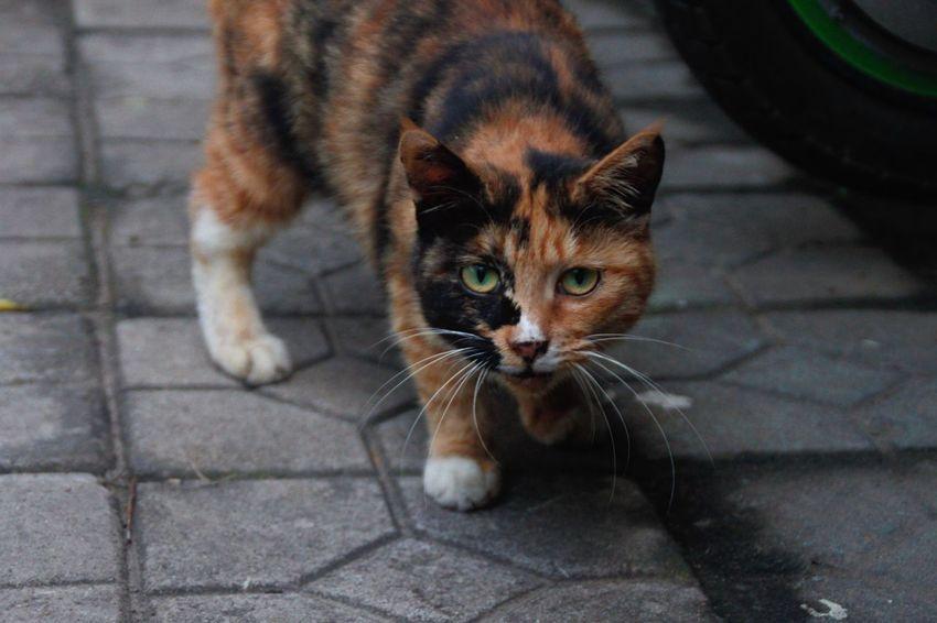 Animal Themes Mammal One Animal Looking At Camera Close-up Homeless Cats Cat Animal