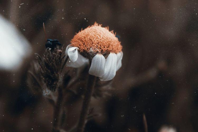 Close-up of daisy